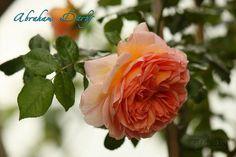 rosa Abraham Darby creata da David Austin Roses nel 1985, questa magnifica rosa delizia sempre perché è sempre diversa e ogni volta non si sa mai cosa aspettarsi. La sua fioritura vi sorprenderà ogni volta: a volte è rosa profondo con sfumature albicocca, giallo e crema e altre volte è di un rosa soft e crema con color albicocca intenso al centro