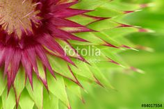 """Download the royalty-free photo """"Milk thistle flower macro background"""" created by viperagp at the lowest price on Fotolia.com. Browse our cheap image bank online to find the perfect stock photo for your marketing projects!"""