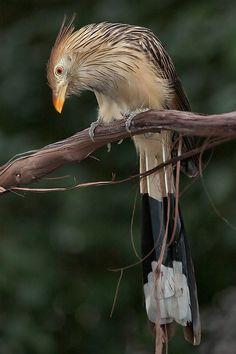 Guira Cuckoo - Exotic Birds - by photographer Al Reid