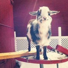 Und dann guck Dir an, wie zufrieden diese Ziege mit der Welt ist!                                                                                                                                                                                 Mehr