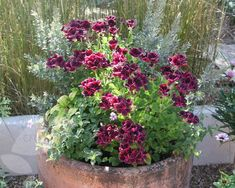 Buy regal pelargoniums Pelargonium 'Lord Bute': Delivery by Crocus African Plants, Summer Bedding Plants, Foliage Plants, Fast Growing Flowers, Plants Uk, Growing Flowers, Pelargonium, Plants, Geraniums