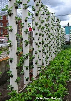 Vertical strawberry garden