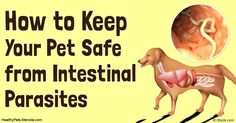 Intestinal parasites are the little creatures that can take up residence inside your pet's GI tract and cause all sorts of digestive problems and other issues. http://healthypets.mercola.com/sites/healthypets/archive/2016/09/21/pet-intestinal-parasites.aspx