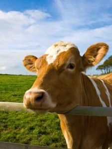 """The Truth About Grassfed Beef by John Robbins. """"you'll see why I've concluded that grassfed is indeed better.  But then, almost anything would be.  Putting beef cattle in feedlots and feeding them grain may actually be one of the dumbest ideas in the history of western civilization."""""""