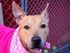 TO BE DESTROYED- 04/06/15 Manhattan Center-P My name is JULIA. My Animal ID # is A1031117. I am a female tan and white black mouth cur mix. The shelter thinks I am about 1 YEAR 1 MONTH old. I came in the shelter as a RETURN on 04/01/2015 from NY 10128, owner surrender reason stated was PET HEALTH.