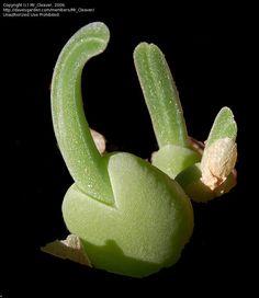 Monilaria Globosa