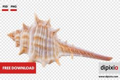 Free photo of sea shell for download on www.dipixio.com #dipixio #freephoto #freebie #free #photo #freedownload #stockphotos #photography #graphics #photos #blog #blogger #pic #freeimages #stock