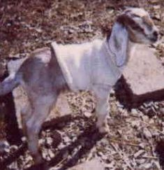 Fias Co Farm: Goat Information: goats goat managment health care natural & holistic health care kidding breeding milking and much Keeping Goats, Raising Goats, Goats In Sweaters, Female Goat, Goats For Sale, Alter Pullover, Happy Goat, Goat Barn, Nigerian Dwarf Goats