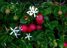 Natal Plum, we had this in Corpus and loved it, smells wonderful but watch out for the thorns!