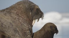 Frontiers North Adventures   Images and Inspiration   Walrus and pup in Foxe Basin
