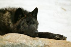 Shilo relaxing at Lakota. From the Photography collection of Dan Bacon Founder of Lakota Wolf Preserve. Follow us @madetoorderjewelers on Instagram, Tumblr & Facebook for more of Dan's photography. Stop in at our store to see and purchase prints. Made To Order 44 Main Street, Clinton, NJ Dan Bacon, Grey Wolves, Wolf Pup, Wolfdog, Anime Wolf, Beautiful Dogs, Werewolf, Main Street, Beautiful Creatures