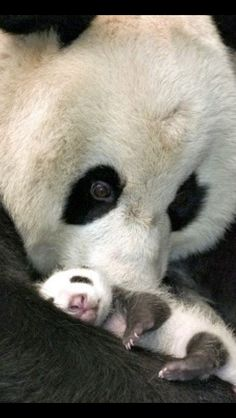 Funny pictures about A mother panda and her little cub. Oh, and cool pics about A mother panda and her little cub. Also, A mother panda and her little cub photos. Mundo Animal, My Animal, Animal Babies, Bear Animal, Animal Facts, Cute Baby Animals, Animals And Pets, Baby Pandas, Giant Pandas