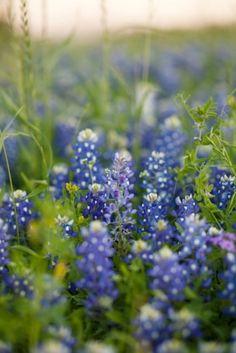 Texas Bluebonnets.  So lovely.