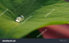 Water Droplets On Lotus Leaf Stock Photo 477283603 : Shutterstock