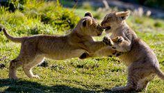 lion - Szukaj w Google