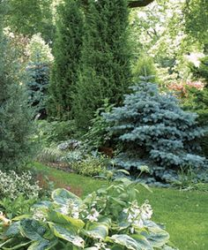 Two dwarf blue spruces mediate the scale between low-growing perennials and tall conifers.