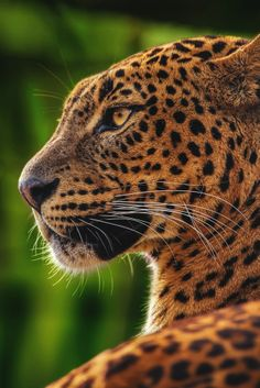 Beautiful - leopard