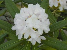 Rhododendron 'Axel Tigerstedt'