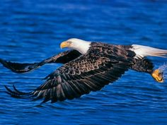 Amazing Bald Eagle is popular big predator from US and Canada. Follow and visit my website for more fact and picture about eagle species.