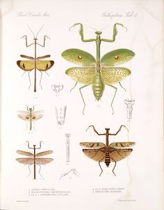 """Smithsonian Library collection of images - available for use (for a fee) Henri De Saussure, """"Insecta. Orthoptera"""", 1893-1899."""