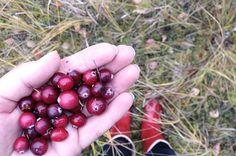 Picking cranberries