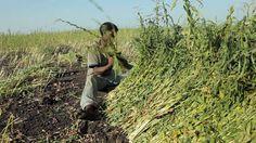 Selet Hulling Ethiopia (watch in HD!)
