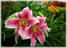 Lilies - can't plant too many!