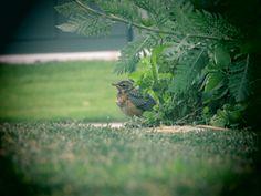 Fledgling robin chillin in my yard