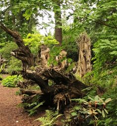 This stumpery is at the Rhododendron Species Botanic Garden in Federal Way, WA