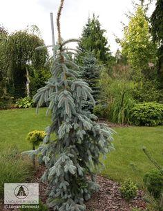 """Picea pungens 'The Blues' Дерево с сильным боковые ветви свисают, будет объединяются, чтобы сформировать плач, столбчатые. Это похоже на П. GLAUCA 'маятников """". Руководство особенно в молодости должно осуществляться на костре. Листва (иглы) интенсивный синий. Он имеет низкие требования почвы. Рекомендуется для больших садов на солнечных местах."""