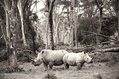 Photograph Rhinoceros Golden Forest / Rhino Poaching by Mitchell Krog on 500px