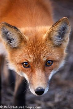The fox went out on chilly night, and prayed to the moon to give him light, for he had plenty miles to go that night!