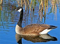 Canada Goose-There is a group of three that pass over my house almost nightly to get to the pond nearby...they are honking all the way!