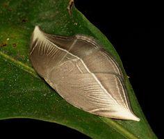 Hooktip Moth (Microblepsis leucosticta, Drepaninae) | Flickr - Photo Sharing!