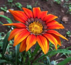 """#Gazania #Flower #Flower #superb_flowers #quintaflower #macroworld_tr #instagardenlovers #ptk_flowers #my_daily_flower #florecitas_mx #ig_flowers #flowerstalking #lovelynatureshots #loves_flowers_ #bd_gardens #bd_flower #gr8flowers #lovely_flowers_ #fabulous_shots #igscflowers #Iphone6S #iphonegraphy #iphone6sphotography by pushpabisht07 Follow """"DIY iPhone 6/ 6S Cases/ Covers/ Sleeves"""" board on @cutephonecases http://ift.tt/1OCqEuZ to see more ways to add text add #Photography #Photographer…"""