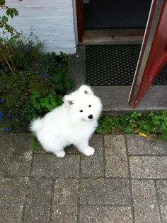 Samoyed puppy :) - Imgur. Oh, the adorableness!
