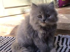 gatos angora cinza , Pesquisa Google
