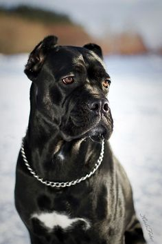 "Cane Corso. By Kerli.-Noble, majestic, and powerful in presence, the Cane Corso is a muscular and large-boned breed. One of two native Italian ""mastiff type"" dogs that descendedfrom the Roman canis Pugnaces, the breed's name derives from the Latin ""Cohors"" which means ""Guardian"" and ""Protector.""AKC. So BEAUTIFUL!"