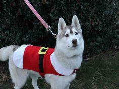 Siberian Husky dog for Adoption in Brewster, MA. ADN-419174 on PuppyFinder.com Gender: Female. Age: Adult