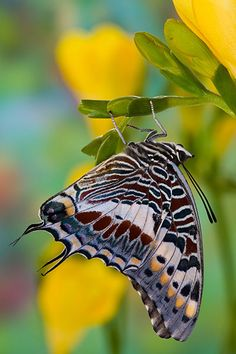 The giant emperor or giant charaxes (Charaxes castor). Kipepeo is open to the public, where they can see the rearing procedure and live butterflies  Pretty!