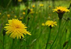 Common Catsear meadow flowers, spotted at Wightwick Manor by Isobel Evans