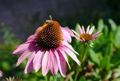 Využití a vedlejší účinky echinacei – Swanson.cz Plants, Blog, Blogging, Plant, Planets