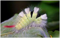 Pale Tussock (Calliteara pudibunda) caterpillar. Photo by Marx Kol