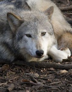 Take Action Now: USFWS Abandons Wolves Nationwide ! PLEASE SIGN ! ! The U.S. Fish and Wildlife Service (FWS) has officially proposed removing crucial Endangered Species Act protections from wolves across the lower 48 states. We have less than 90 days to organize opposition to this flawed plan