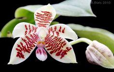 Phalaenopsis Inscriptiosinensis | Phalaenopsis inscriptiosinensis
