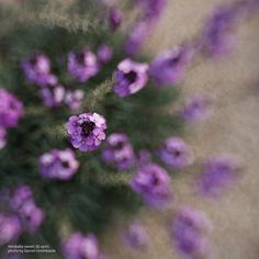 Lensbaby Composer Pro with Sweet 35 Optic - purple flowers - photo by Lauren Rosenbaum
