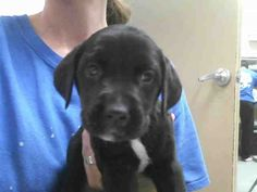 02/12/14  #A221823  Labrador Retriever Mix • Baby • Female • Small  Montgomery County Animal Shelter Conroe, TX