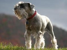 Schnauzer, Standard photos and wallpapers. The beautiful Schnauzer, Standard pictures. Standard Schnauzer, Giant Schnauzer, Schnauzer Dogs, Miniature Schnauzer, Schnauzer Gigante, Bichon Frise, Schnauzers, Poodles, Pugs