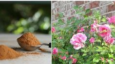 Solan bitkilerinizi canlandırmanın en kolay yolu: Mutfağın vazgeçilmezi tarçın!