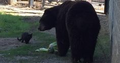 White Wolf : An elderly feral cat comes to visit a lonely old bear at the Zoo